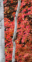 Utah Fall colors of an Aspen trunk against the backdrop of bright red maple leaves.
