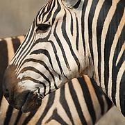 Nicely patterned zebra.