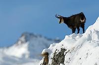25.11.2008.Chamois (Rupicapra rupicapra) in alpine landscape..Gran Paradiso National Park, Italy