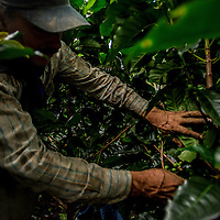 March, 20, 2014 - A farmhand works on pickng coffee cherries in the field at Finca La Siemeona, a farm only about five acres in the Department Antioquia region of Colombia.<br /> Story Summary:<br /> Deep in the verdant valleys of Colombia&rsquo;s Department Antioquia region is Fabio Alonso Reyes Cano&rsquo;s coffee finca. Finca La Siemeona has been in Cano&rsquo;s family for generations. <br /> He and two workers farm the 5-acres of land as his ancestors did, bean by bean.  It is a tradition that has dwindled amid modern day farming techniques that harvest quicker but the selectively picked ripe deep red cherries are picked individually by hand for the best quality. &lsquo;Grain by grain&rsquo; processing allows for greater control over that quality of one of Colombia&rsquo;s top exports.  It also may help save an industry that is seeing firsthand the effects of climate change.<br /> Cano takes pride in the organic process, which he practices out of respect for nature and the land he was born and raised on.  A businessman, Cano keeps his eyes on way to grow but he also takes seriously his role as steward, encouraging biodiversity and employing natural pest control on the finca.  His practices are at odds with other coffee farmers, who have adopted more industrialized techniques. <br /> Climate change threatens a way of life that supports about 92,000 families nationwide and serves as one of Colombia&rsquo;s economic backbones.  Colombian coffee production has declined in recent years due to regional climate change associated with global warming as both the average temperatures have risen and an increase in rainfall.  The trend disrupts the specific climate requirements to grow the Coffea Arabica bean, and a way of life. (Credit Image: &copy; Eric Reed/ZUMAPRESS.com)