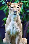 Portrait of Kuchani at Taronga Zoo, Sydney..