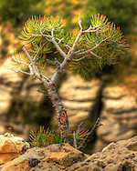 Tiny sapling growing at the edge of a cliff in Walnut Canyon