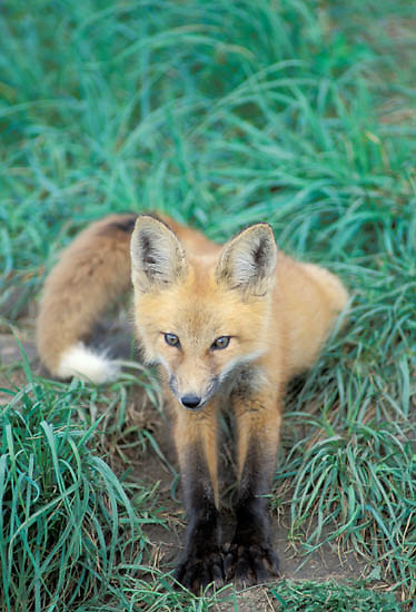 Red Fox, (Vulpus fulva) young kit sits near den entrance. Summer.