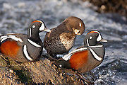 Harlequin Ducks, Histrionicus histrionicus, Barnegat Light, New Jersey