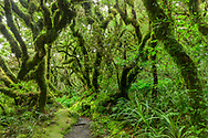 Oceania, New Zealand, Aotearoa, North Island, Taranaki, Egmont National Park, temperate rain forest near Dawson Falls