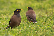 Common myna (or Indian Myna Acridotheres tristis). This bird is native to southern Asia from Afghanistan to Sri Lanka. The Myna has been introduced in many other parts of the world and its distribution range is on the increase to an extent that in 2000 the Species Survival Commission (IUCN) declared it among the World's 100 worst invasive species. and one of only three birds in this list. It is a serious threat to the ecosystems where introduced. Photographed in Israel in March
