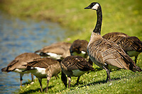 JEROME A. POLLOS/Press..A gaggle of Canada geese graze on the lawn Tuesday at the edge of the Riverstone Pond. The City of Coeur d'Alene Parks Department will place decoy swans in the pond to scare away the geese since killing, harming or removing eggs of the federally protected species is illegal.