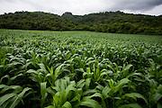 Santana do Riacho_MG, Brasil...Plantacao de milho em Santana do Riacho, Minas Gerais...The cornfield in Santana do Riacho, Minas Gerais...Foto: LEO DRUMOND / NITRO