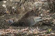 A wild turkey dust bathing in the forest.