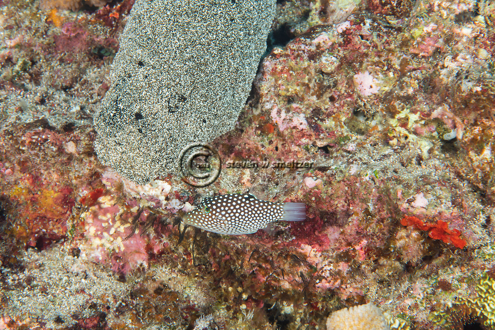 White Spotted Toby, Canthigaster jactator, (Jenkins, 1901), Maui, Hawaii
