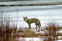 Coyote (Canis lantrans), near Cave and Basin, Banff, Banff National Park, Alberta, Canada