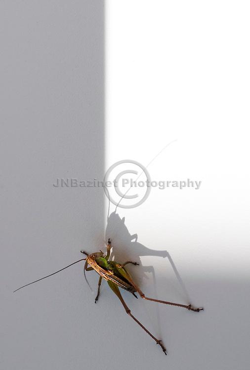 Grasshopper casting shadow on white background.