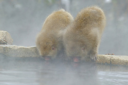 Two monkeys drink from a hot spring during winter in Japan.