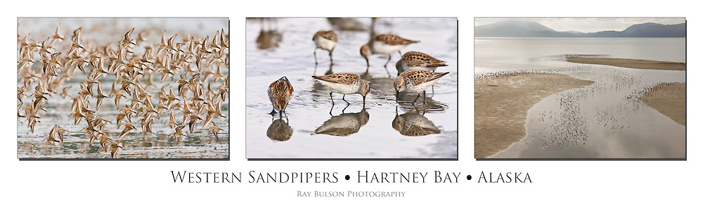 Flocks of Western Sandpipers (Calidris mauri) swarm the tidal flats of Hartney Bay near Cordova in Southcentral Alaska  during high tide to feed during their spring migration to the Arctic. Triptych.