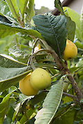 Israel,  loquat tree Eriobotrya japonica with fruit, April 2007