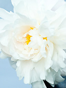 Paeonia lactiflora 'James Kelways' - double peony