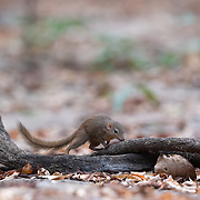 The northern treeshrew (Tupaia belangeri) is a treeshrew species native to Southeast Asia. Northern tree shrews live in rainforests. They are sometimes arboreal, but are most often found on or near the ground level. During dry months when the leaf litter dries up and reduces the amount of prey available on the ground, they are found more frequently in the trees.