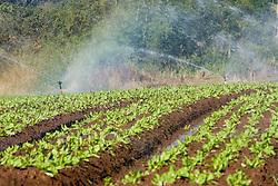 Plantacao de alface com irrigacao e curva de nivel para evitar a erosao. A alface e muito exigente em irrigacao, fator que influi decisivamente na qualidade e produtividade da cultura.Deve-se manter sempre um bom teor de umidade, sem, no entanto, provocar encharcamento.