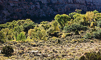 Cottonwood trees turning colors in Autumn in Indian Creek Canyon, Utah, USA.