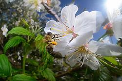 Honey bee (Apis mellifera) collecting pollen from the flower of an cherry tree | Die Honigbiene (Apis mellifera) sammelt Pollen in einem Kirschbaum. Ganz nebenbei bestäubt sie dabei die Blütenpflanzen und wird zum wichtigsten Bestäuber in Insektenreich. Kiel, Deutschland
