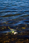 White Rose, floating in Oslofjord, Oslo, Norway. White roses are a symbol of death.