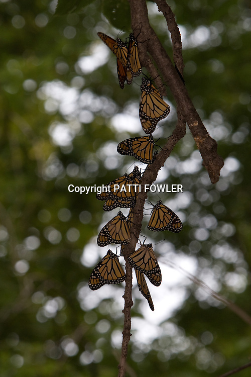 Monarchs gathering on tree limb