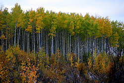 CANADA ALBERTA PEACE RIVER 9OCT09 - Poplar trees, a variety of Birch in the Boreal forest east of Peace River in northern Alberta, Canada...Significant deposits of Bitumen, also known as tarsands have been found in the area around Peace River and Slave Lake, thus threatening the continued existence of flora and fauna of the Boreal through oil and gas developments...The Canadian boreal region represents a tract of land over 1,000 kilometres wide separating the tundra in the north and temperate rain forest and deciduous woodlands that predominate in the most southerly and westerly parts of Canada. ..The boreal region contains about 14% of Canada's population. With its sheer vastness and integrity, the boreal makes an important contribution to the rural and aboriginal economies of Canada, primarily through resource industries, recreation, hunting, fishing and eco-tourism...Photo by Jiri Rezac / GREENPEACE