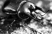 Minotaur beetle (Typhaeus typhoeus) scavenging on the heath. Arne, Dorset, UK.