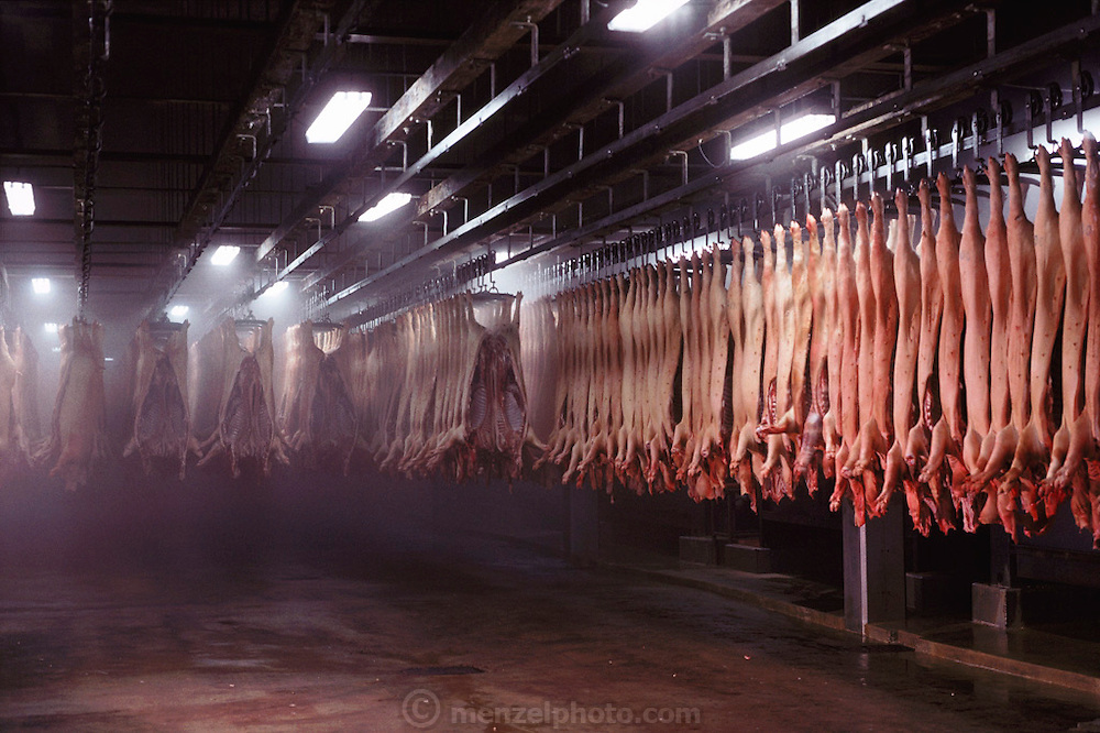 Pigs/Swine/Hog: Oscar Mayer Company slaughterhouse in Perry, Iowa. Pig carcasses cooling. USA.