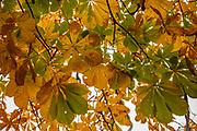 Chestnut leaves turning orange in autumn, Glasgow, Scotland