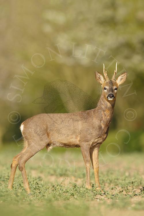 Western Roe Deer (Capreolus capreolus) male in perished oilseed rape crop, South Norfolk, UK. May.