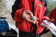 Biologist holds food ball that kittiwake coughed up after being handling during field research at Blomstrand island, Kongsfjorden, Svalbard.