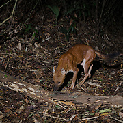 Dhole (Cuon alpinus) or Asian Wild Dog, in Kaeng Krachan National Park, Thailand.