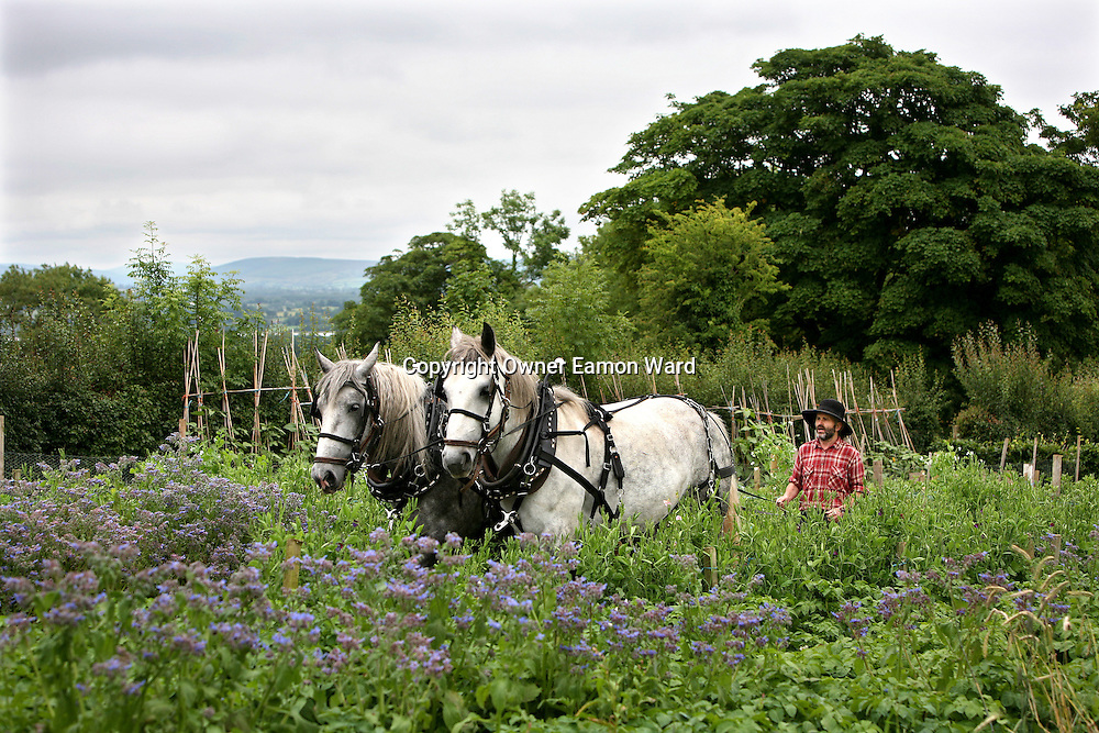 Nature's Way.Jim Cronin with his Four year old Percheron Work Horses at home in Ballyknavin,Bridgetown ,Co Clare ..Photograph by Eamon Ward Freelance/The Clare People.Photo Taken on 22/7/2008.