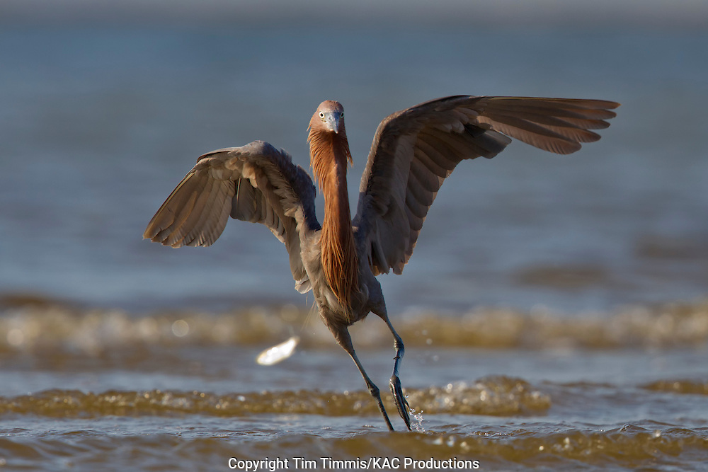 Reddish Egret, Egretta rufescens, Bolivar Flats, Texas gulf coast, fishing with wings extended, chasing a fish