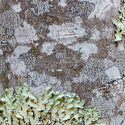 Lichens grow on he bark of a beech tree in the Wild Gardens of Acadia in Maine's Acadia National Park.