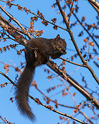 A Grey Squirrel hanging on a tree eating some seeds in the National Mall in Washington, DC