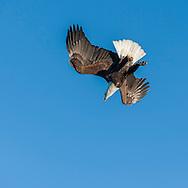 Bald eagle making steep dive, blue sky background, © 2005 David A. Ponton
