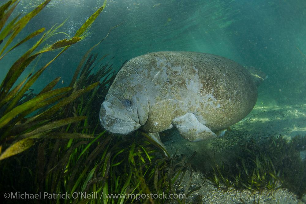 Endangered Florida Manatee, Trichechus manatus, swims, rests and feeds in the clear waters of the Ichetucknee River in north Florida.