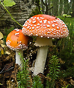 A poisonous Amanita muscaria mushroom grows in the Alaska Zoo, Anchorage, Alaska, USA. A mushroom is the fruiting body of fungi.