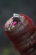 The Baths. Hermit crab feeding on a cactus fruit.