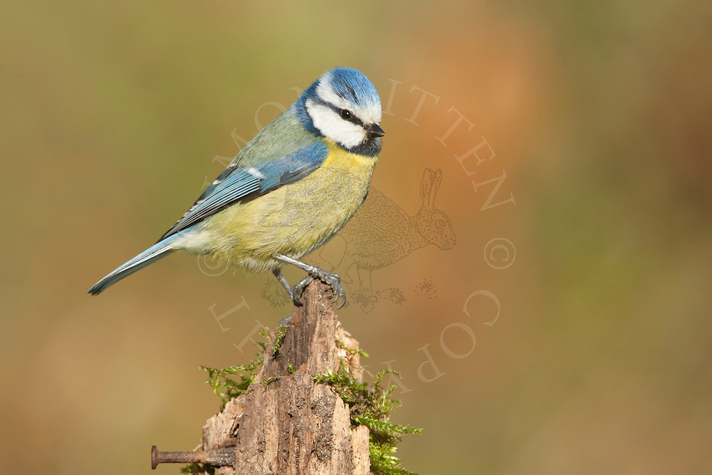 Blue Tit (Parus caeruleus) adult perched on old post, Norfolk, UK.