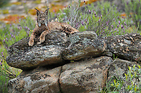 Iberian Lynx (Lynx pardinus) female<br /> Sierra de And˙jar Natural Park, Mediterranean woodland of Sierra Morena, north east Ja&Egrave;n Province, Andalusia. SPAIN<br /> RANGE: Iberian Penninsula of Spain &amp; Portugal.<br /> CITES 1, CRITICAL - DANGER OF EXTINCTION<br /> Fewer than 200 animals in the wild. There is a reduced genetic variability due to their small population. They have suffered due to hunting, habitat loss and road accidents, but the most critical threat today is the reduced numbers of wild Rabbits (Oryctolagus cuniculus) within the lynx's range. The rabbits are the principal food source of the lynx and they are suffering from deseases such as Myxomatosis &amp; Rabbit haemoragic virus. The lynx is also suffering from deseases such as feline leukaemia<br /> A medium sized cat weighing 12-15kgs, Body length 90cm, Shoulder height 45-50cm. They have a mottled fur pattern, (3 varieties of fur pattern found between the different populations and distinguishing them geographically)  short tail, ear tufts and are bearded. They are territorial cats although female cubs have been found to share their mother's territory. Mating occurs in Dec/Jan and cubs born around April. They live up to 13 years.