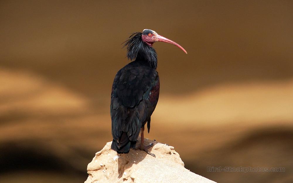 Northern Bald Ibis, Geronticus eremita, Tamri, Morocco, by Adam Riley