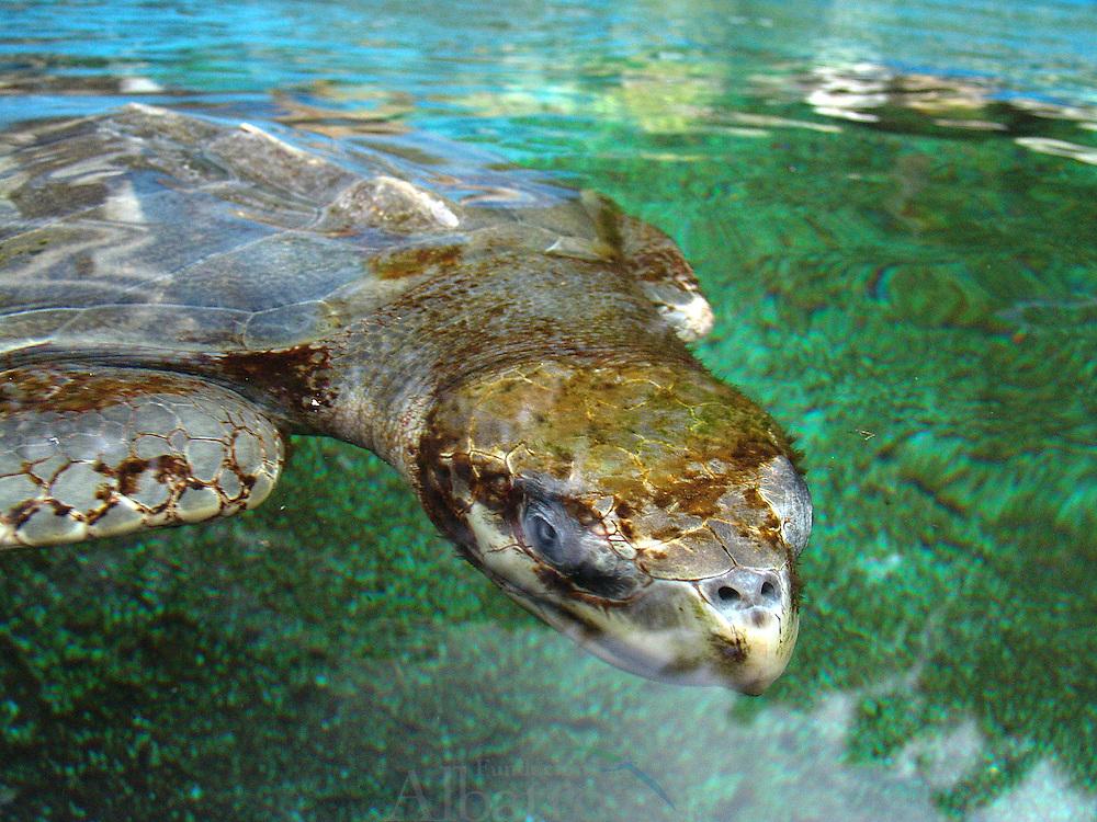 Las tortugas o quelonios (Testudines) forman un orden de reptiles (Sauropsida) caracterizados por tener un tronco ancho y corto, y un caparaz&oacute;n o envoltura que protege los &oacute;rganos internos de su cuerpo. Al igual que todos los reptiles, las tortugas son animales ectot&eacute;rmicos, lo que significa que su actividad metab&oacute;lica depende de la temperatura externa o ambiental.  Las tortugas marinas est&aacute;n distribuidas en muchos lugares alrededor del mundo, prefieren el tr&oacute;pico y las temperaturas subtropicales. Se encuentran, generalmente, a lo largo de las regiones costeras de playas de arena. Esto incluye las &aacute;reas de Am&eacute;rica del Norte, Am&eacute;rica del Sur, Am&eacute;rica Central, India, Sud&aacute;frica y Australia. Tambi&eacute;n han sido vistos en el Oc&eacute;ano Atl&aacute;ntico de Canad&aacute;, e incluso en zonas de toda Europa. Existen varias amenazas para la supervivencia de la especie. Estas incluyen la caza de las tortugas por su carne, y el saqueo de sus nidos en busca de los huevos. Adicionalmente al trabajo de las entidades globales como la Uni&oacute;n Internacional para la Conservaci&oacute;n de la Naturaleza y CITES, algunos pa&iacute;ses en espec&iacute;fico alrededor del mundo con jurisdicci&oacute;n sobre sitios de anidaci&oacute;n y alimentaci&oacute;n de la tortuga han hecho esfuerzos individuales para la conservaci&oacute;n y la protecci&oacute;n de la especie.<br /> &copy;Alejandro Balaguer/Fundaci&oacute;n Albatros Media.