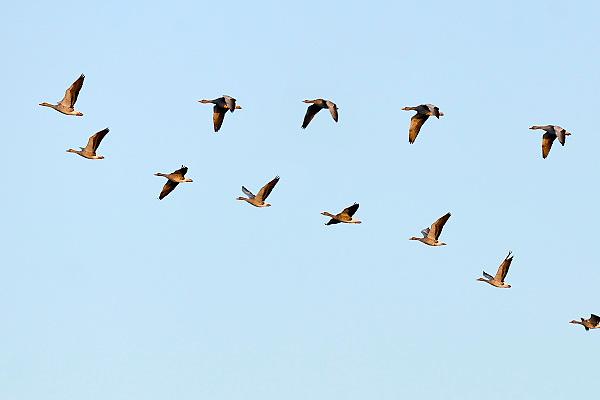Nederland, Ubbergen,11-9-2014 Wilde grauwe ganzen vliegen over de Ooijpolder. Elk jaar overwinteren tienduizenden ganzen in de Gelderse Poort en de uiterwaarden langs de rivier de Waal. Foto: Flip Franssen/Hollandse Hoogte
