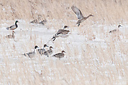 Northern Pintails, Anas acuta, Brown County, South Dakota