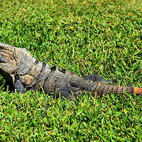 Spiny-tail Iguana at Riviera Maya, Mexico <br />