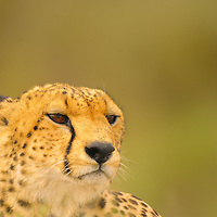 Cheetah posing in the Serengeti National Park in Tanzania.