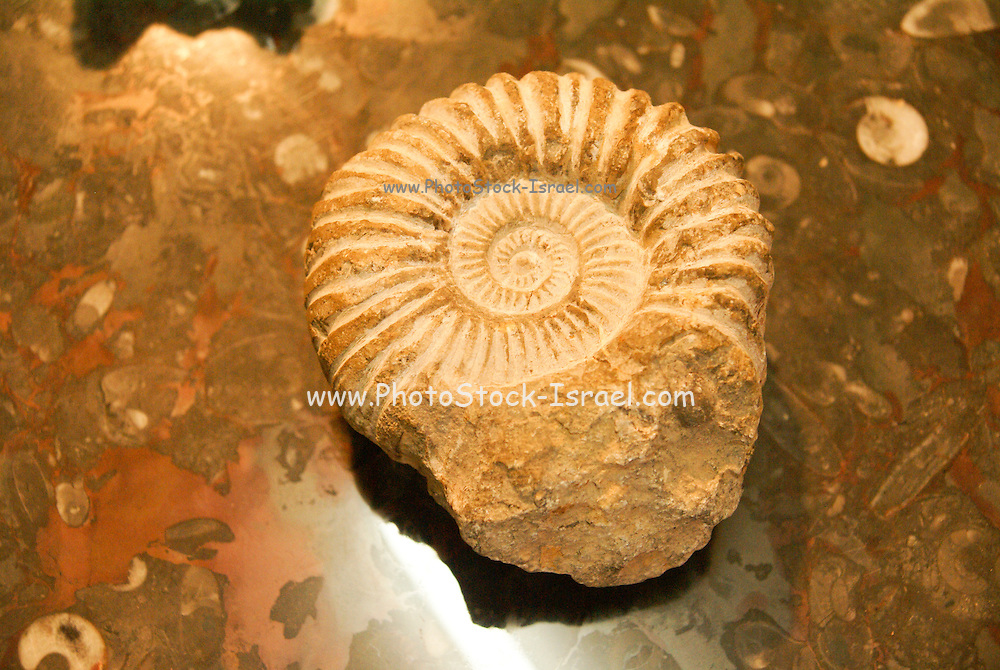 Ammonite fossil stone, close up, found in the Atlas mountains, Morocco. Jurassic period.  Photographed in Morocco
